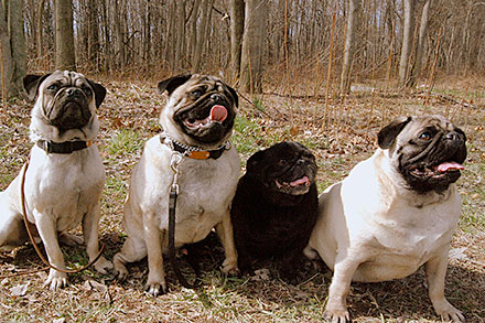 Four pugs sitting outdoors