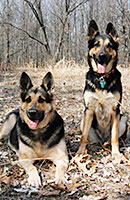 2 German Shepherds